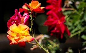 Aunt T's Roses