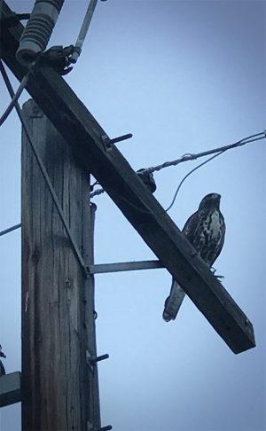 Hawk on a utility pole
