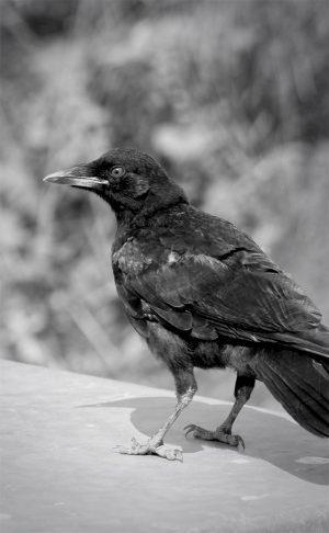 A crow says hello