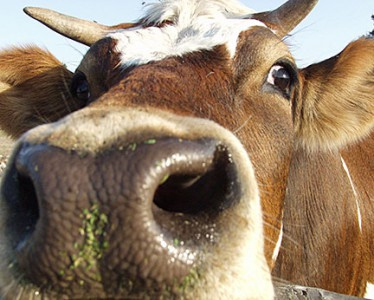 Photo of a cow with nose in the foreground