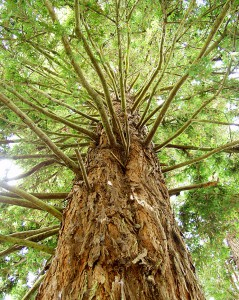Photo of a california redwood tree